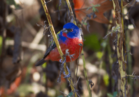 The Prospect Park Painted Bunting photo by Rob Bate, head of the Brooklyn Bird Club